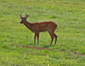 Farncombe Deer (6019363540).jpg