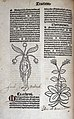 Female mandrake, 1491 Wellcome L0029953.jpg