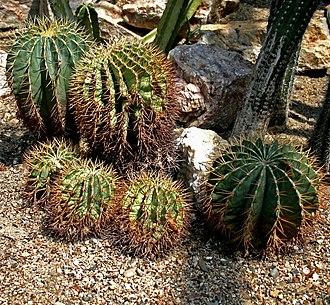 Ferocactus - Ferocactus glaucescens
