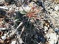 Ferocactus peninsulae ssp. townsendianus (5762282326).jpg
