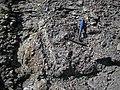 "Ferruginous quartz-pebble conglomerate boulder in matrix (""Sharon Conglomerate"", Lower Pennsylvanian; Jackson North roadcut, Ohio, USA) 2 (37505433200).jpg"