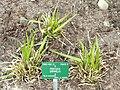 Festuca drymeja - Copenhagen Botanical Garden - DSC07684.JPG