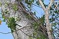 Ficus microcarpa var. nitida 1zz.jpg