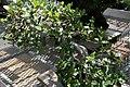Ficus nitida 6zz.jpg