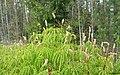 Field Horsetail (Equisetum arvense) - panoramio.jpg
