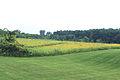 Field of Blackeyed Susans, Sandra Richardson Park, York Township, Michigan.JPG