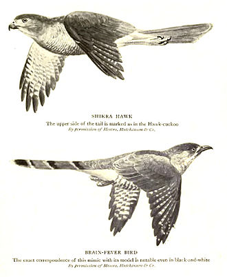 Mimicry - Common hawk-cuckoo resembles a predator, the shikra.