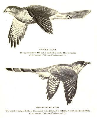 Mimicry - Common hawk-cuckoo resembles a predator, the shikra.