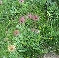 Fiori rifugio jervis ceresole reale 2.jpg
