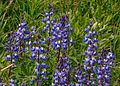 First day of the summer in the Alpine flowers of Sun Peaks...Arctic Lupine (Lupinus arcticus)... (28296240795).jpg
