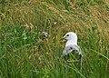 Fiskmås Common Gull (14796667460).jpg