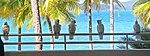 Five Cockatoos (30929771412).jpg