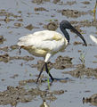 Flatnose crane.jpg