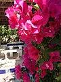 Fleurs de calpe - panoramio (3).jpg