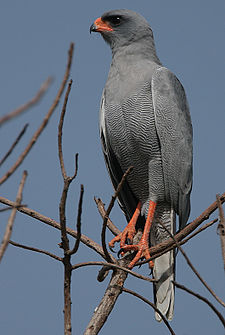 Flickr - Rainbirder - Dark Chanting Goshawk (Melierax metabates).jpg