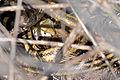 Flickr - ggallice - Rat snake with prey.jpg