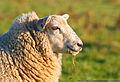 Flickr - law keven - Say Ewe, Say Me........jpg