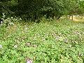 Flora della Riserva Naturale Valle dell'Aniene 1.JPG
