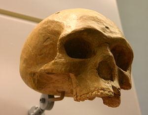 Florisbad Skull - Image: Florisbad Helmei Homo heidelbergensis