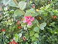 Flowers of Cuba -Laslovarga (5).JPG