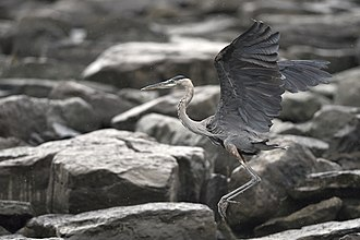 Great blue heron - Image: Flying heron