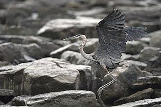 Great blue heron - Image: Flying heron