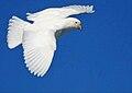 Flying sheathbill.jpg
