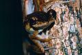 Four-lined Tree Frog (Polypedates leucomystax) (13949443397).jpg