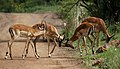 Four impala males in a contest of horns, Aepyceros melampus at Pilanesberg National Park, South Africa (17329965222).jpg