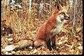 Fox (5062232651).jpg