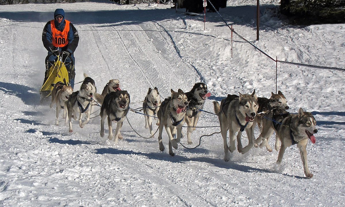 Sled dog racing - Wikipedia