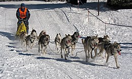 Eleven dogs pull a sled on a groomed trail; the snow shines in the sunlight; a person dressed warmly and wearing a numbered vest is standing on the sled.