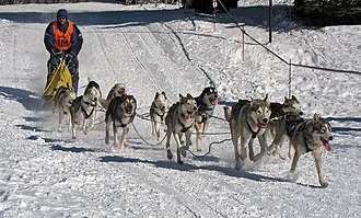 Sled dog racing - An 11-dog team of Siberian Huskies in Frauenwald, Thuringia, Germany, 2012