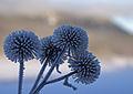 Frosty thistles (3105757058).jpg