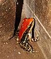 Fungoid frog in Western ghats .jpg