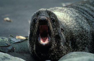 Fur seal - Northern fur seal at the Alaska Maritime National Wildlife Refuge.