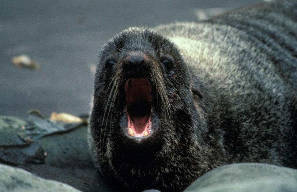 Fur Seal, Alaska Maritime National Wildlife Refuge