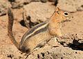 GM Ground Squirrel 2 wray (8271892877).jpg
