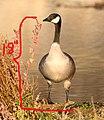 GOOSE, CANADA? (11-12-08) islay creek mouth, slo co, ca -2 copy (3028141242).jpg