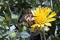 Gaillardia x grandiflora Golden Goblin 0zz.jpg