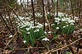 Galanthus nivalis in Loch Lomond and The Trossachs National Park-1.jpg