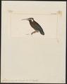 Galbalcyorhynchus leucotis - 1820-1863 - Print - Iconographia Zoologica - Special Collections University of Amsterdam - UBA01 IZ16800389.tif