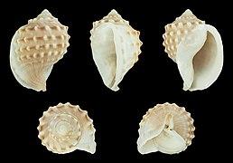 Galeodea echinophora 01.jpg