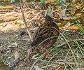 Gallirallus australis in Abel Tasman NP 01.jpg