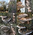 Ganoderma adspersum or G. australe or G.tornatum (GB= Polyporus Australis or Southern Bracket, D= Wulstige Lackporling, F= Ganoderme d'Europe, NL= Dikrandtonderzwam) brown spores and causes white rot. another group of - panoramio.jpg