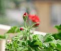 Garden Geranium buds -2.jpg