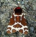 Garden Tiger Moth (Arctia caja) near Dunfanaghy - geograph.org.uk - 901186.jpg