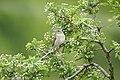 Garden warbler (Sylvia borin) at the UNESCO Biosphere Reserve Swabian Alb.jpg