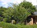 Gardenia thunbergia IMG 5865.JPG