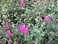 Gardenology.org-IMG 2038 hunt09oct.jpg